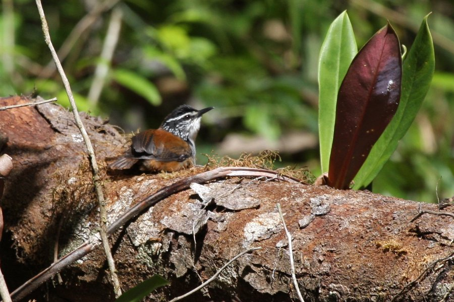 Henicorhina leucosticta, White-breasted Wood-Wren,  door Carl Beel