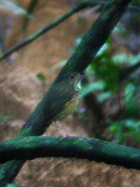Hylopezus macularius, Spotted Antpitta,  door Barbetboy