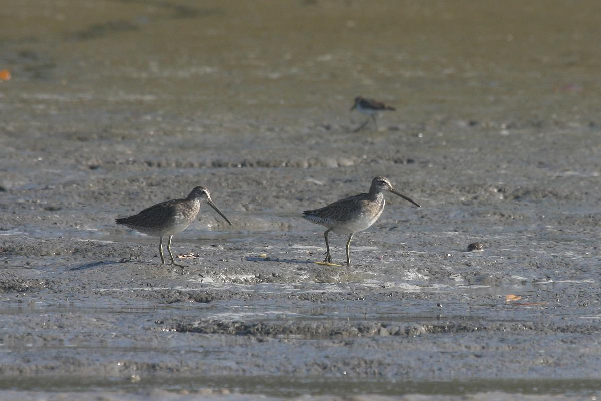 Limnodromus griseus, Short-billed Dowitcher,  door Carl Beel