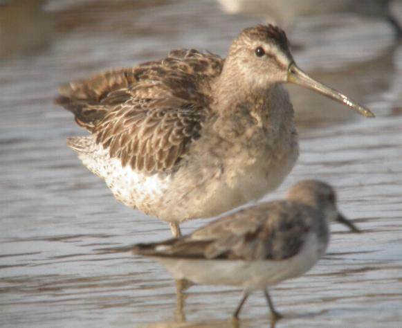 Limnodromus griseus, Short-billed Dowitcher,  door Foek Chin Joe
