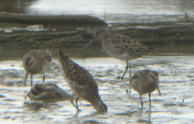 Limnodromus griseus, Short-billed Dowitcher,  door Steven Wytema