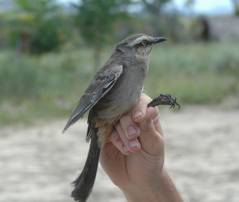 Mimus saturninus, Chalk-browed Mockingbird,  door John Mittermeier
