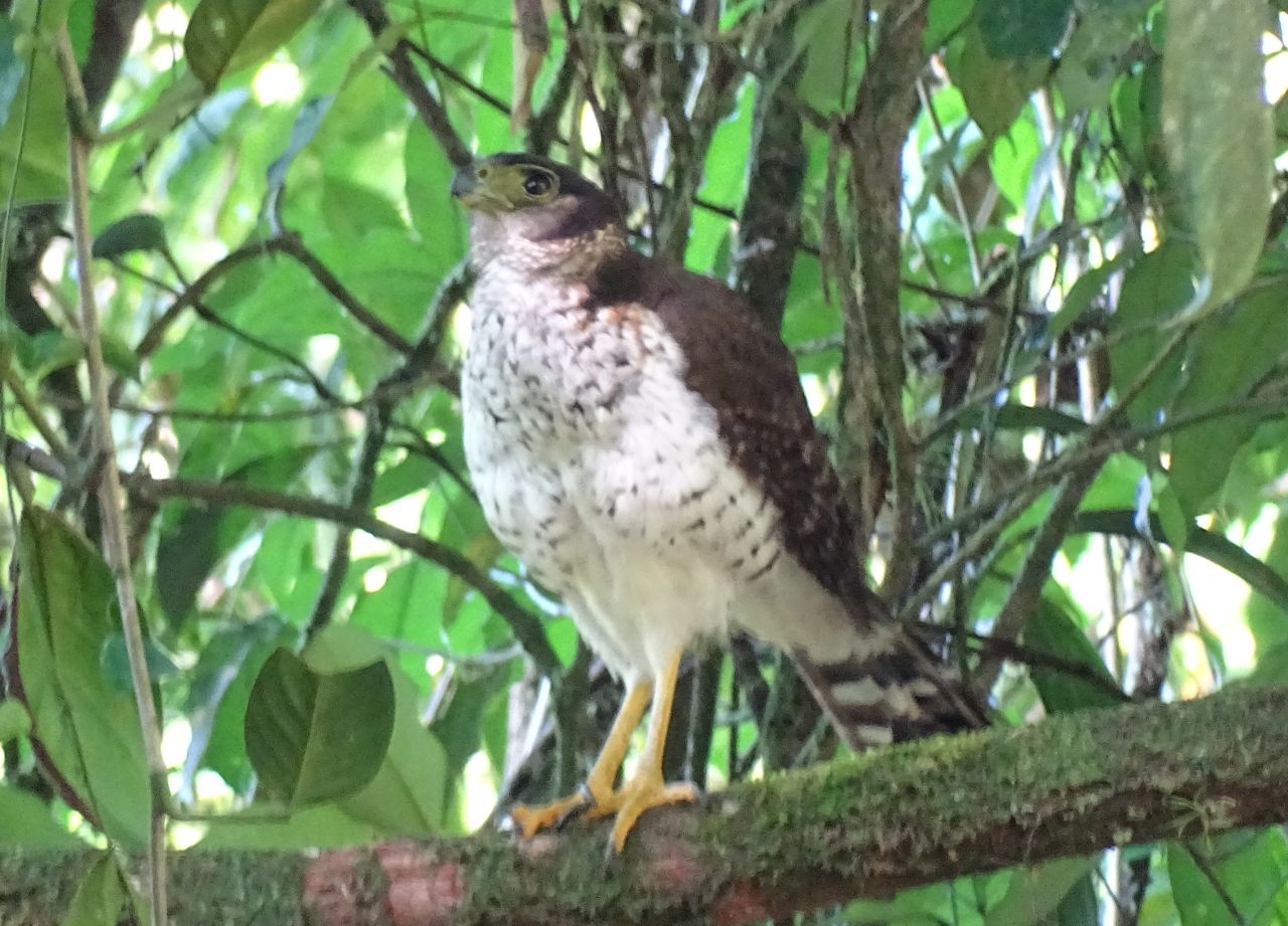 Micrastur semitorquatus, Collared Forest-Falcon,  door Caroline Spertini