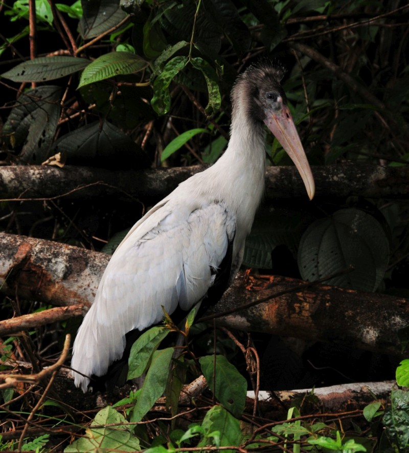 Mycteria americana, Wood Stork, Nengrekopu door Dick Lock