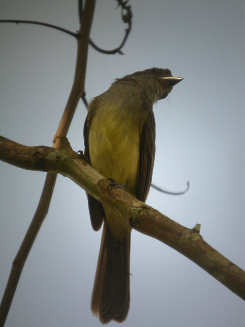 Myiarchus ferox, Short-crested Flycatcher, Tyarman /Tityari door Foek Chin Joe