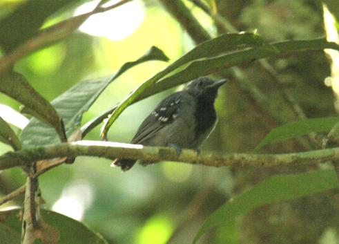 Myrmotherula longipennis, Long-winged Antwren,  door Candy McManiman