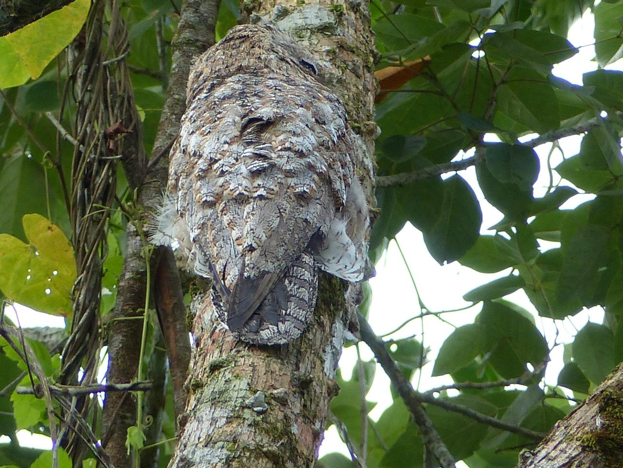 Nyctibius grandis, Great Potoo,  door Jan Hein Ribot