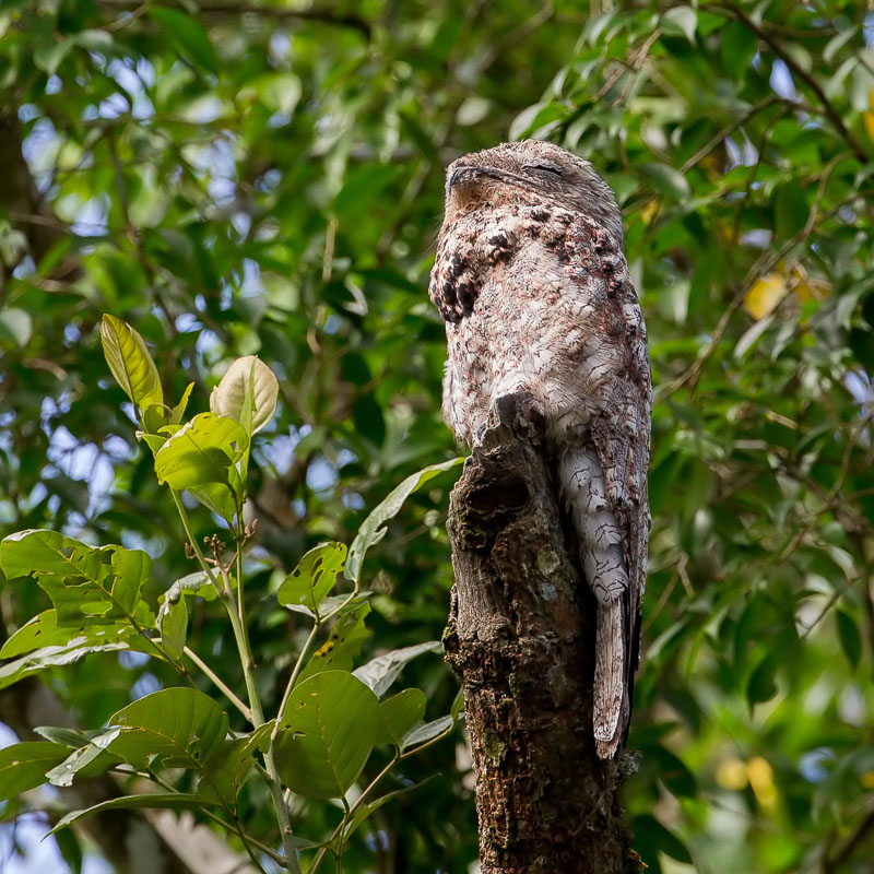 Nyctibius grandis, Great Potoo,  door Paul van Giersbergen