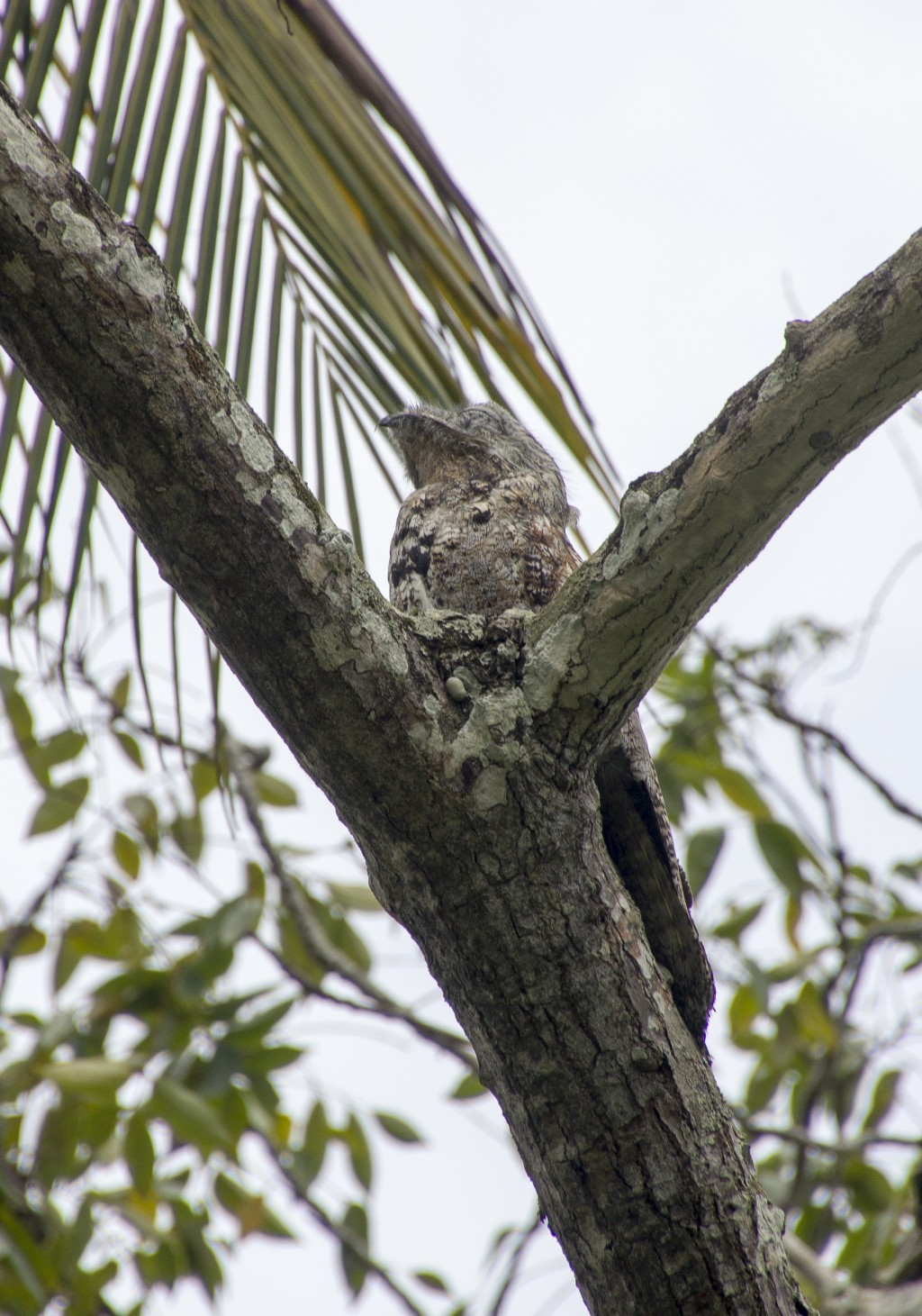 Nyctibius grandis, Great Potoo,  door Frank Valk