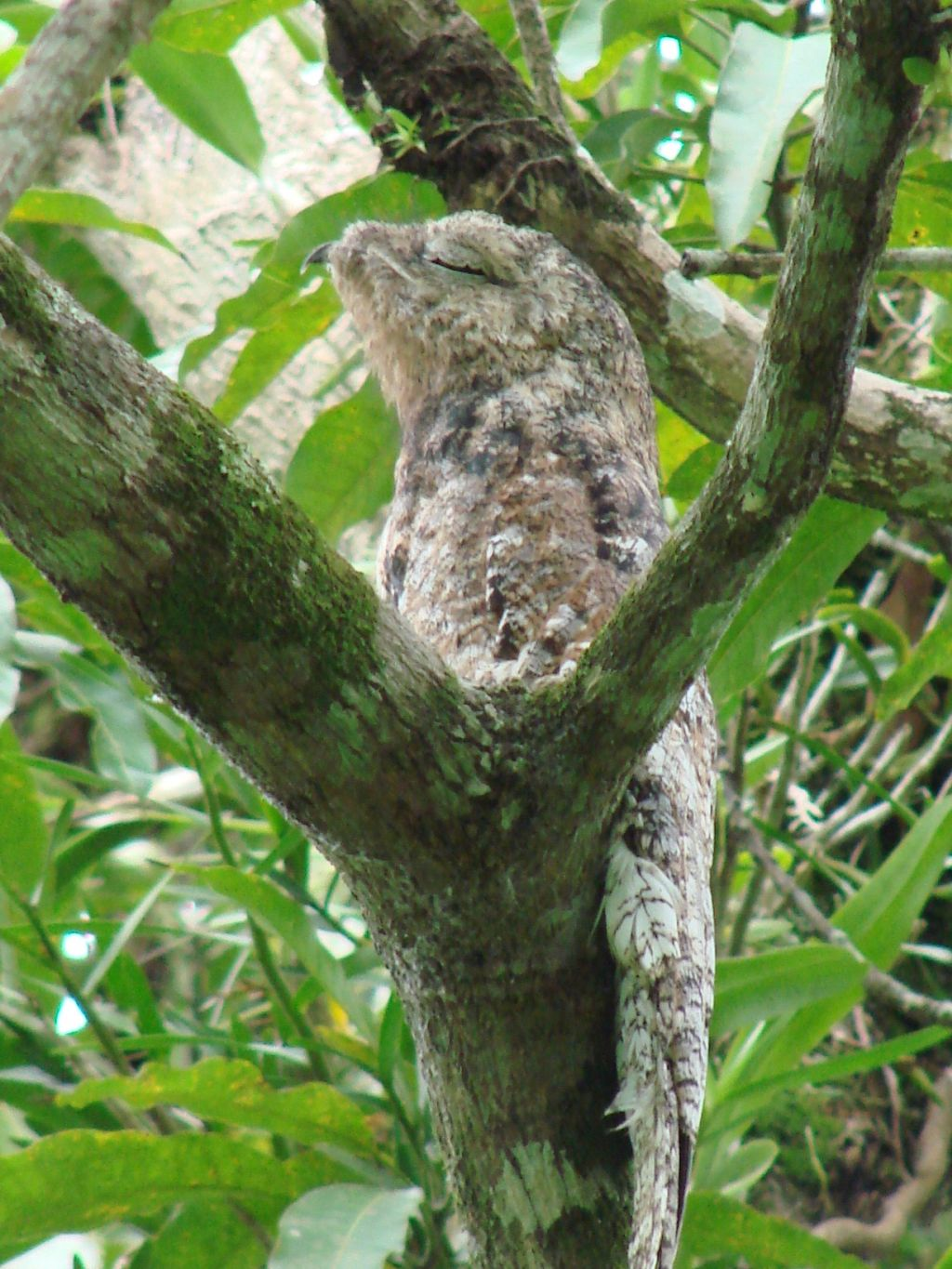 Nyctibius grandis, Great Potoo,  door Dominiek Plouvier