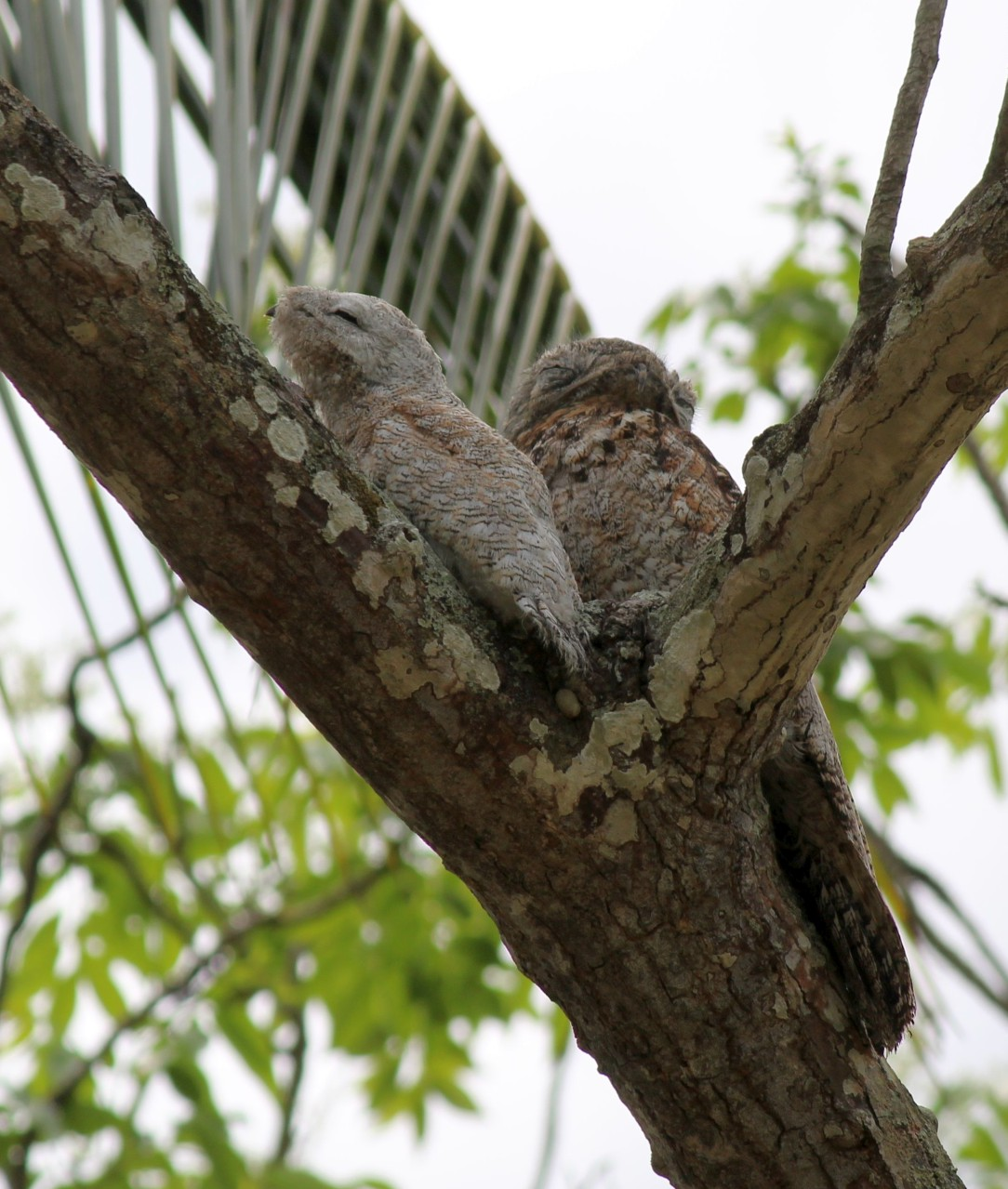 Nyctibius grandis, Great Potoo,  door Barbara Olmtak