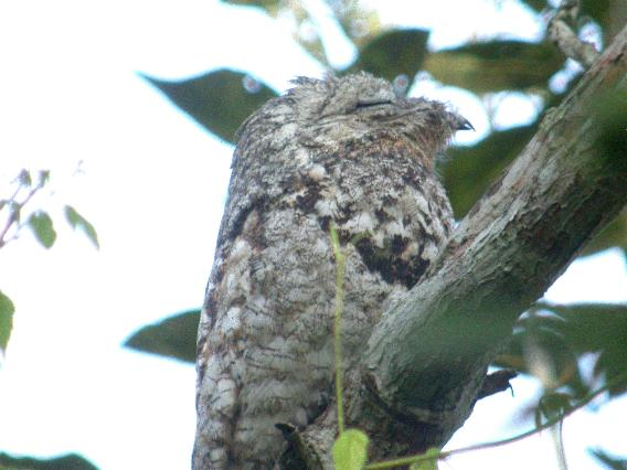 Nyctibius grandis, Great Potoo,  door Colin Bushell