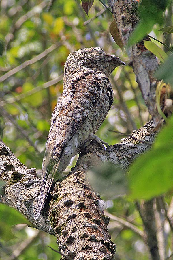 Nyctibius grandis, Great Potoo,  door Martin Reid