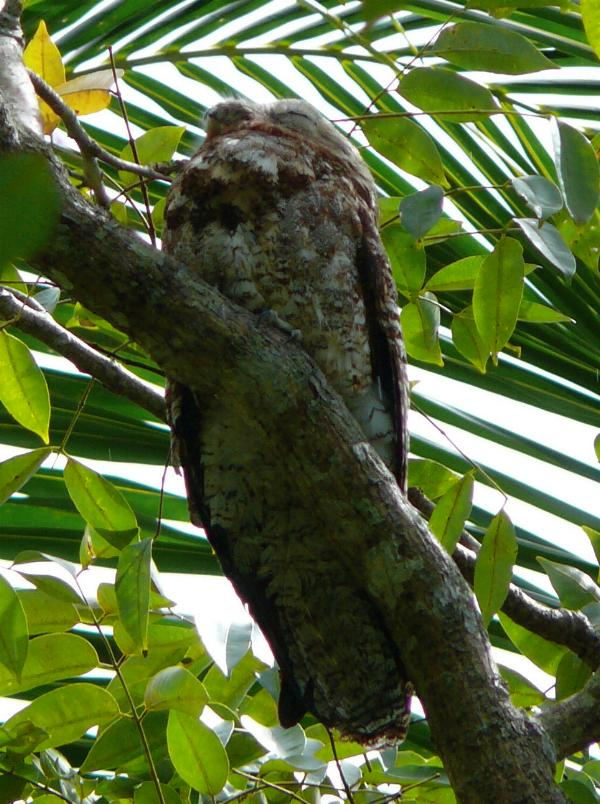 Nyctibius grandis, Great Potoo,  door Stephan Ferrier