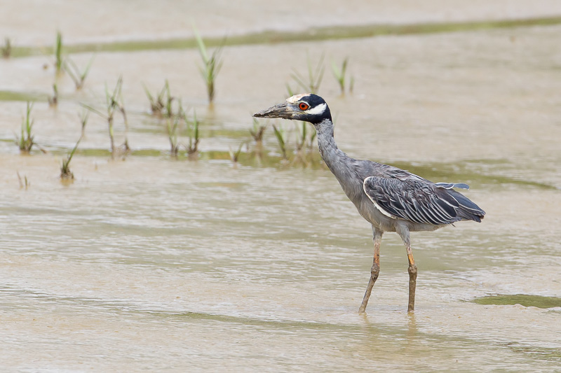 Nyctanassa violacea, Yellow-crowned Night-Heron,  door Paul van Giersbergen