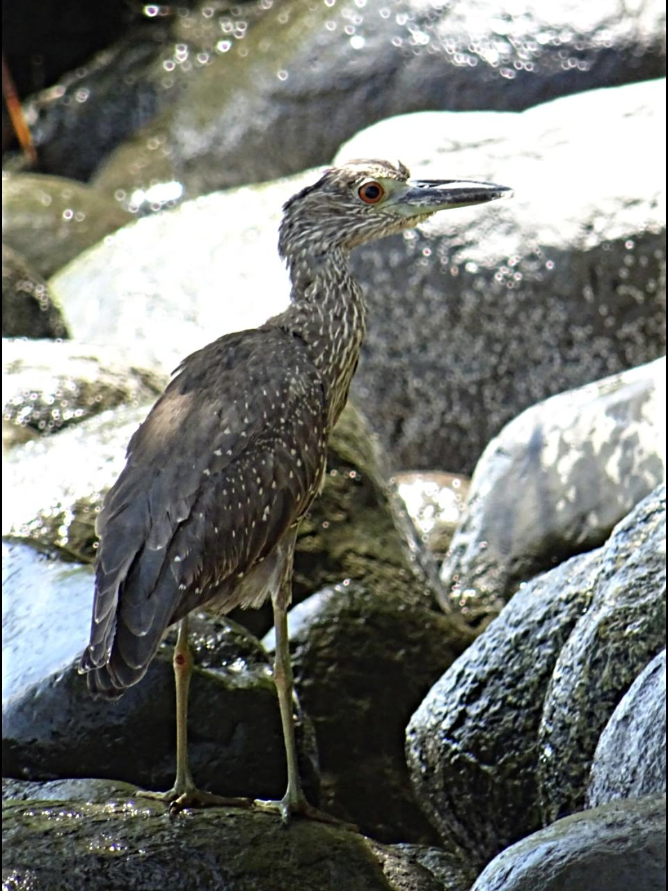 Nyctanassa violacea, Yellow-crowned Night-Heron,  door Hans Majong