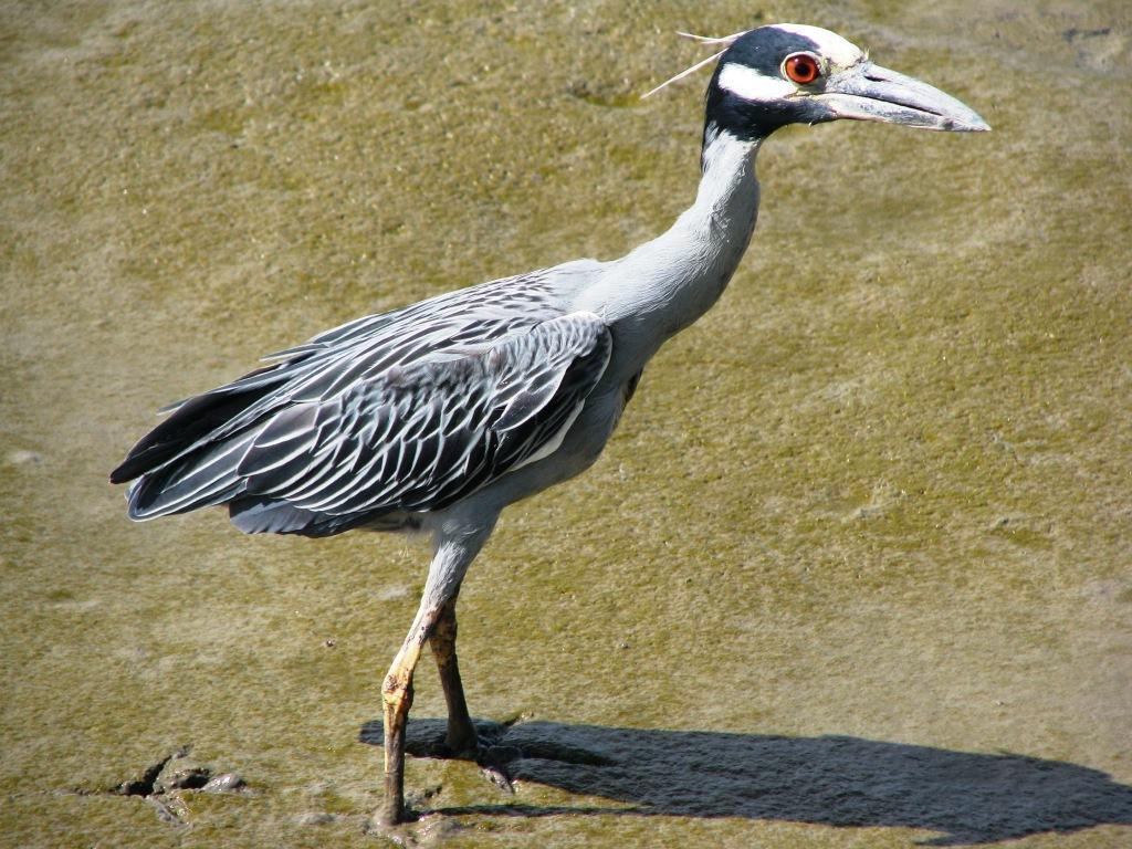 Nyctanassa violacea, Yellow-crowned Night-Heron,  door Bas Spek