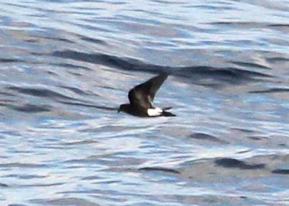 Oceanodroma castro, Band-rumped Storm-Petrel,  door Andy Williams