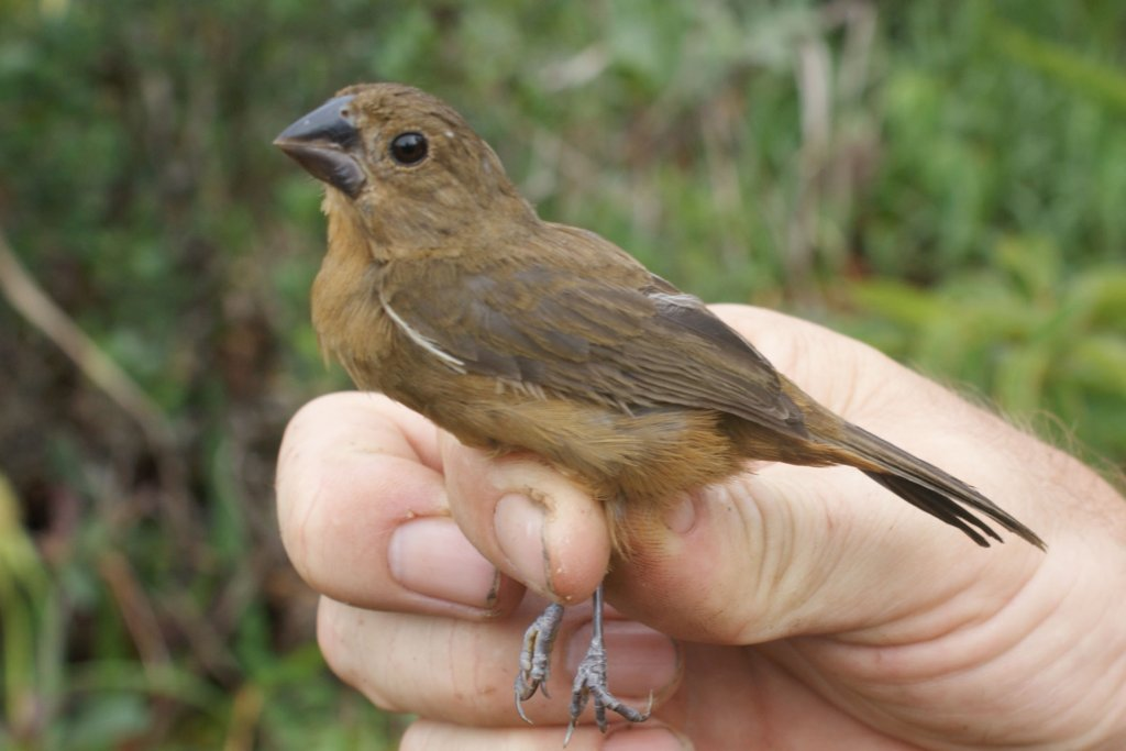 Sporophila angolensis, Chestnut-bellied Seed-Finch, Pikolet door James Prosek