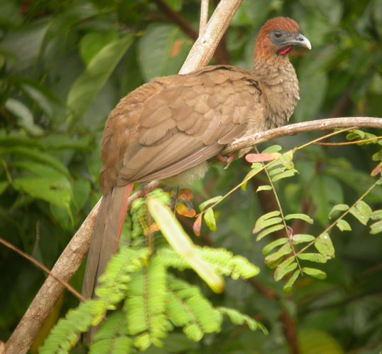 Ortalis motmot, Variable Chachalaca, Wakago, hannaqua door Foek Chin Joe