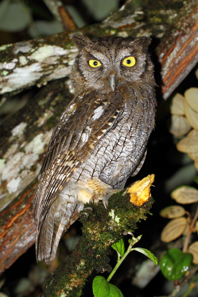 Megascops choliba, Tropical Screech-Owl,  door Johann Tascon