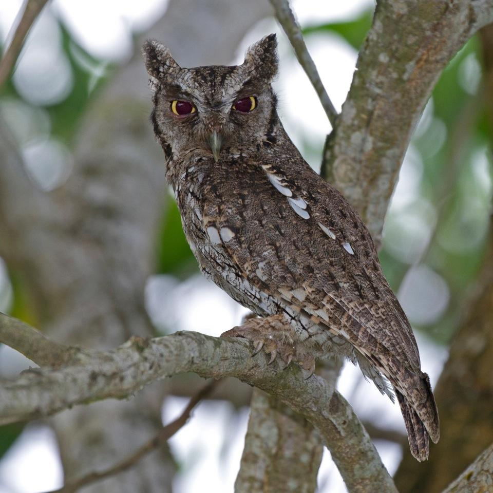 Megascops choliba, Tropical Screech-Owl,  door Michel Giraud-Audine