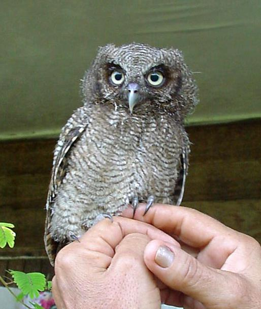 Megascops choliba, Tropical Screech-Owl,  door Iling Tjon Pian Gi