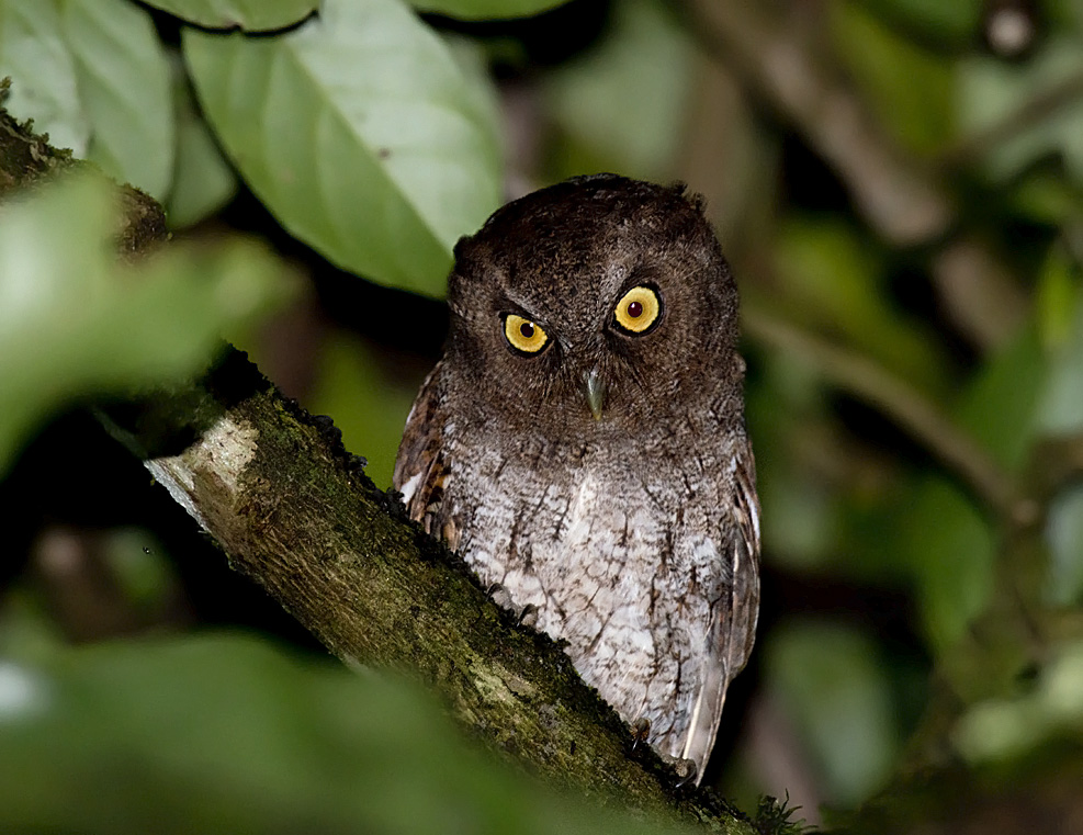 Megascops guatemalae, Vermiculated Screech-Owl,  door Daniel Lopez Velasco