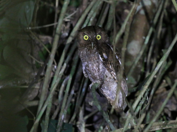 Megascops guatemalae, Vermiculated Screech-Owl,  door Hideo Tani