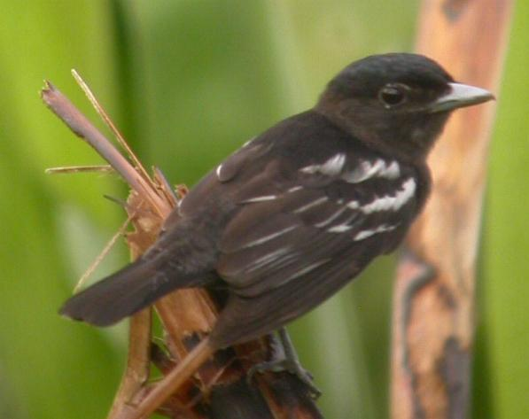 Pachyramphus polychopterus, White-winged Becard,  door Foek Chin Joe