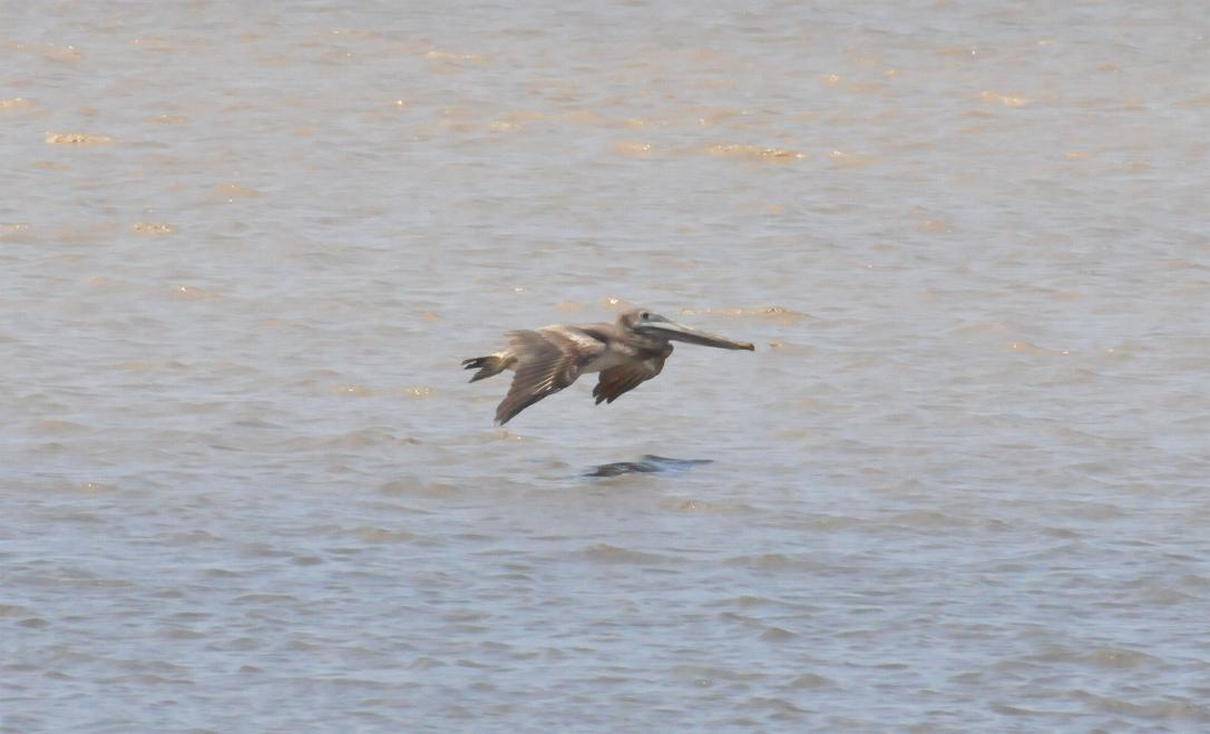 Pelecanus occidentalis, Brown Pelican, Pelikaan / Kodyo door Bas Spek