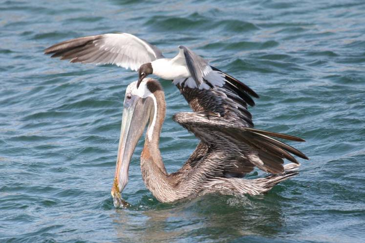 Pelecanus occidentalis, Brown Pelican, Pelikaan / Kodyo door Greg Peterson
