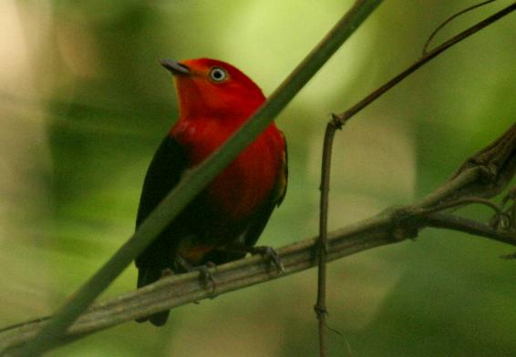 Pipra aureola, Crimson-hooded Manakin,  door Candy McManiman
