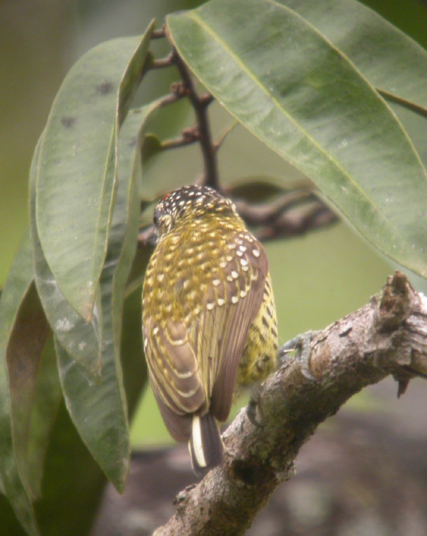 Picumnus exilis, Golden-spangled Piculet,  door Foek Chin Joe