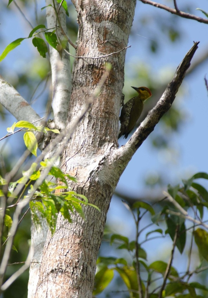 Piculus flavigula, Yellow-throated Woodpecker, Timreman, Timmerman door Tomas Willems