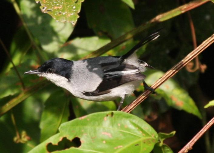 Polioptila plumbea, Tropical Gnatcatcher,  door Carl Beel