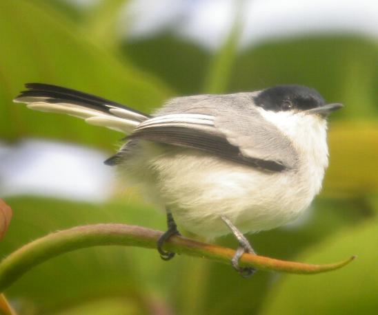 Polioptila plumbea, Tropical Gnatcatcher,  door Foek Chin Joe