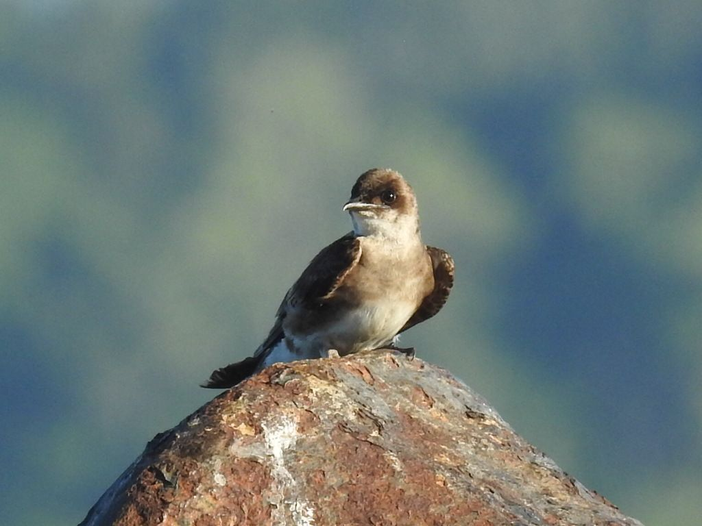 Progne tapera, Brown-chested Martin,  door Dominiek Plouvier
