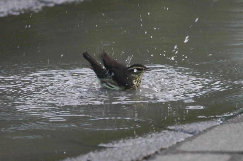 Parkesia noveboracensis, Northern Waterthrush,  door Carl Beel