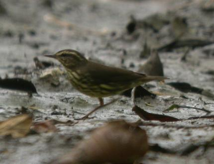 Parkesia noveboracensis, Northern Waterthrush,  door Foek Chin Joe