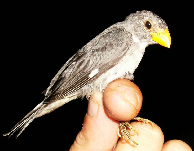 Sporophila schistacea, Slate-colored Seedeater, Gelebek door Sylvain Uriot