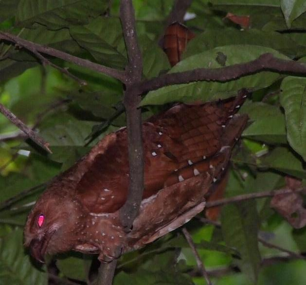 Steatornis caripensis, Oilbird,  door Paul Ouboter