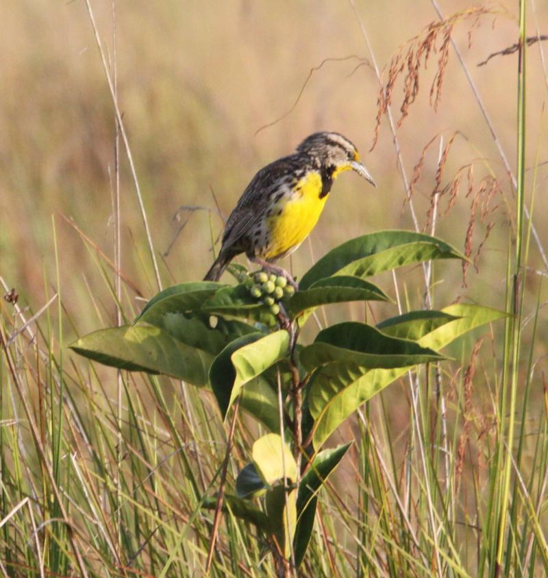Sturnella magna, Eastern Meadowlark,  door Paul Baker