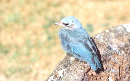 Thraupis episcopus, Blue-gray Tanager, Blawforki, Blawki, Blauwtje door Johan Ingels