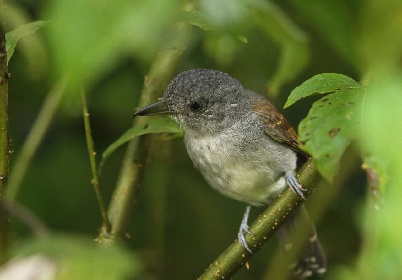 Thamnophilus murinus, Mouse-colored Antshrike,  door Roland Jantot