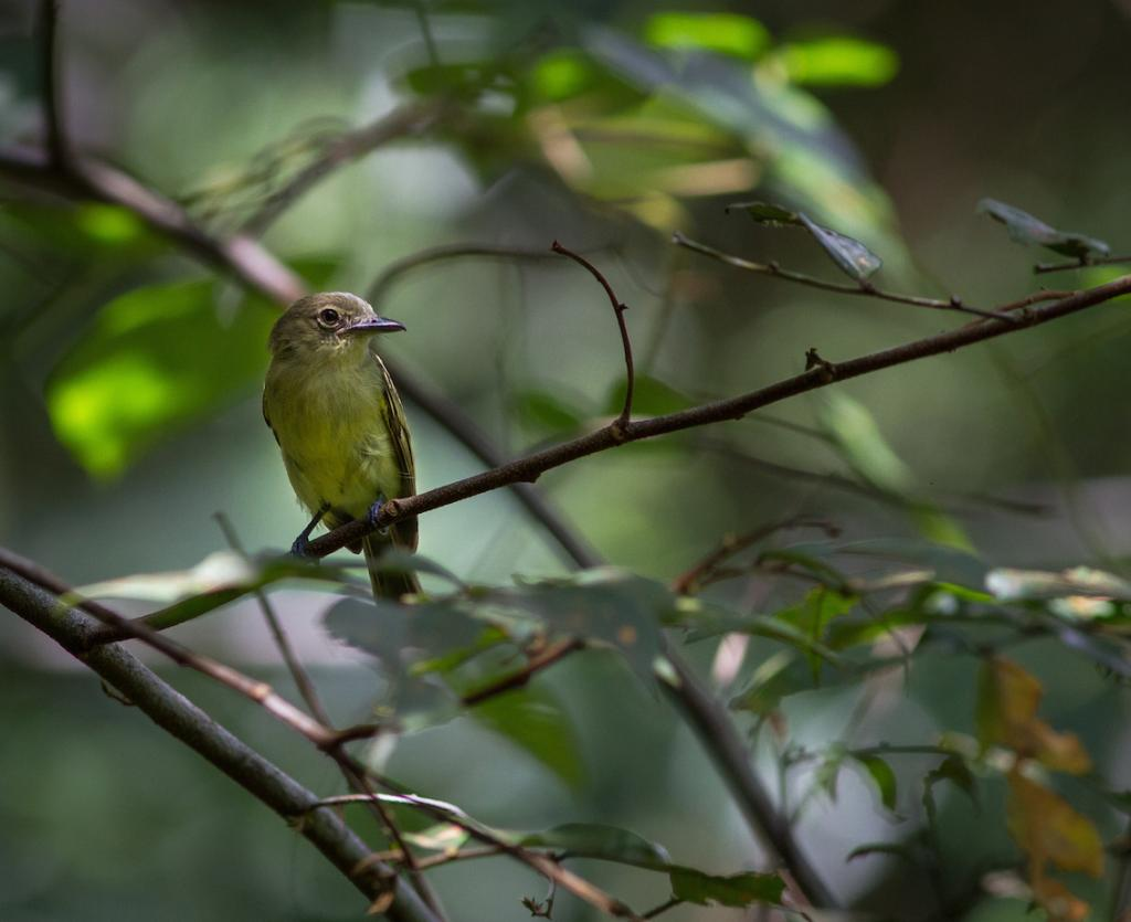 Tolmomyias assimilis, Yellow-margined Flycatcher,  door Matthias Fernandez