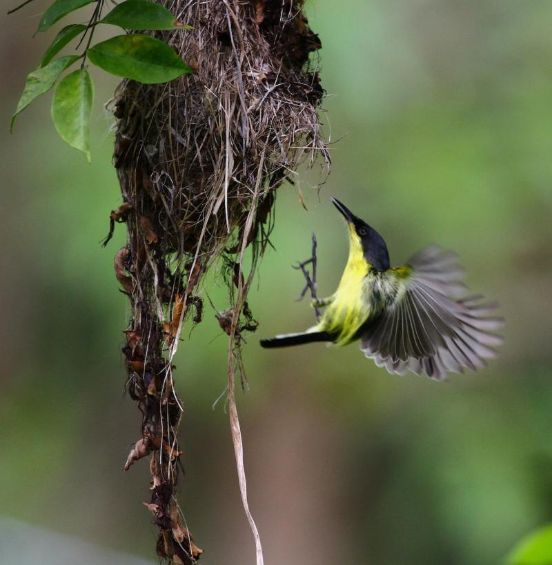 Todirostrum cinereum, Common Tody-Flycatcher, Bakbatitri door Matthias Fernandez