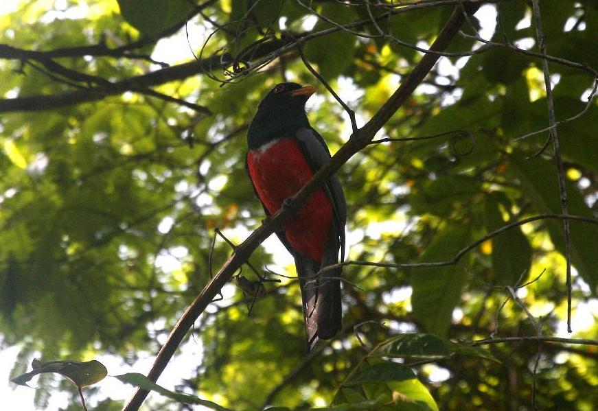 Trogon melanurus, Black-tailed Trogon, Pingofowru door Carl Beel