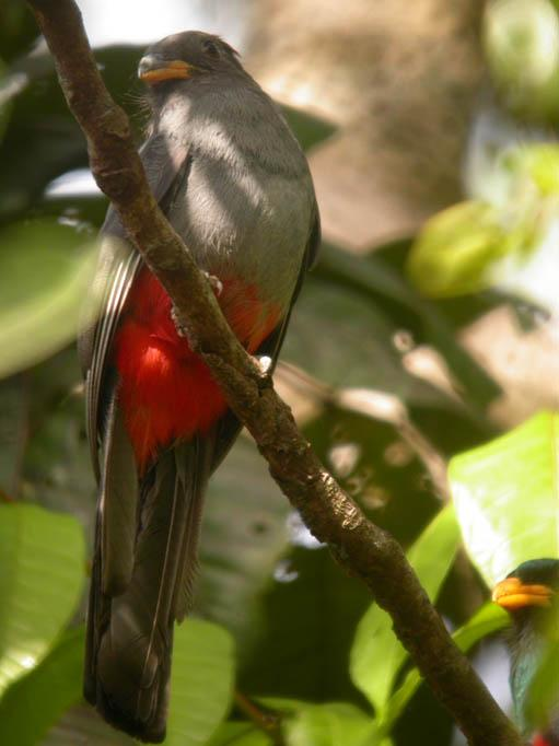 Trogon melanurus, Black-tailed Trogon, Pingofowru door Foek Chin Joe