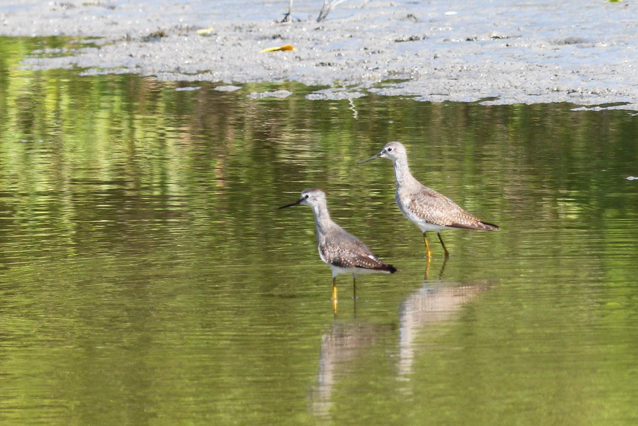 Tringa flavipes, Lesser Yellowlegs,  door Ton Plug
